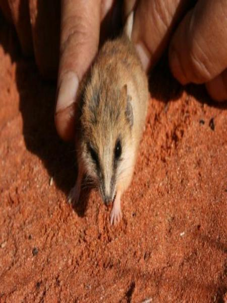 Lesser Hairy-footed Dunnart