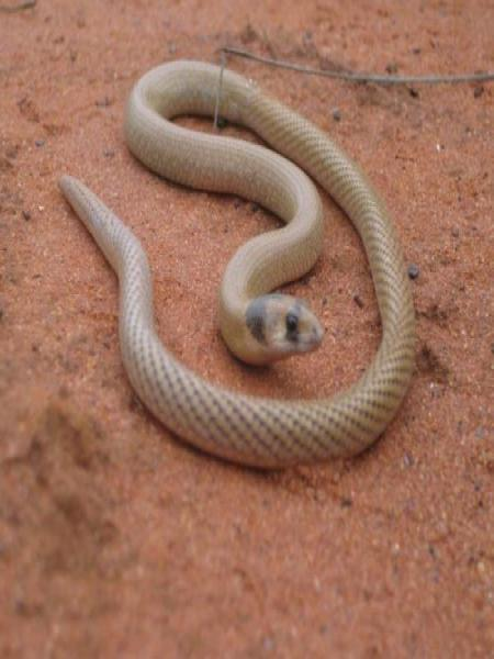 Western Hooded Scaly-foot