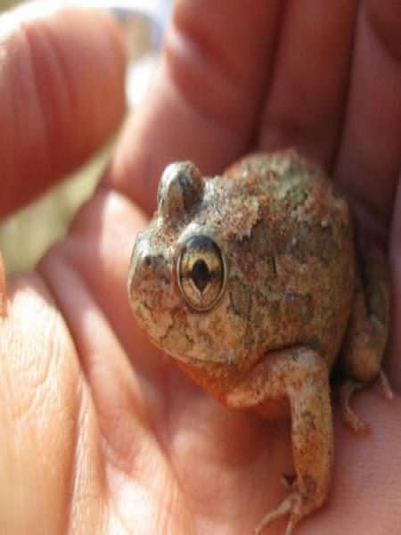 Water Holding frog