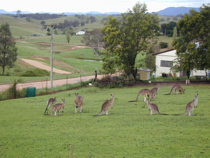 Grey Kangaroos in Bega Valley