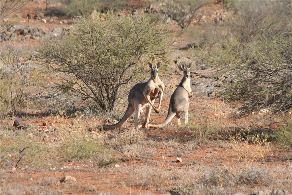 Red kangaroo family