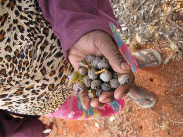 Angas Downs Artists collecting Quandong seeds