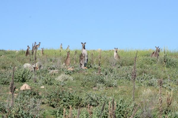 Surveying Roo populations