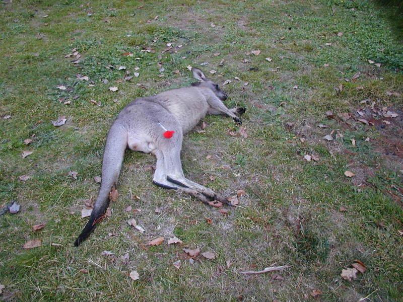 Tranquilised kangaroo