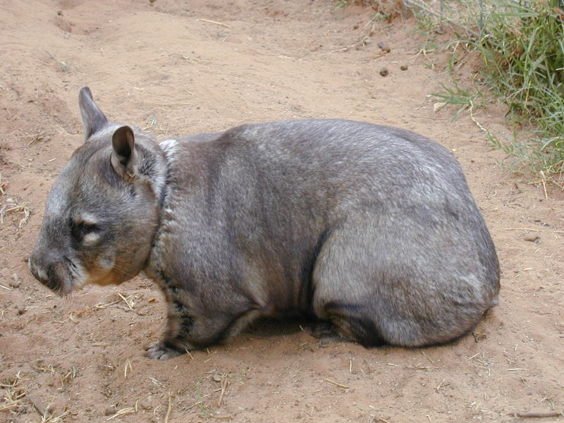 Hairy nosed wombat on Portee