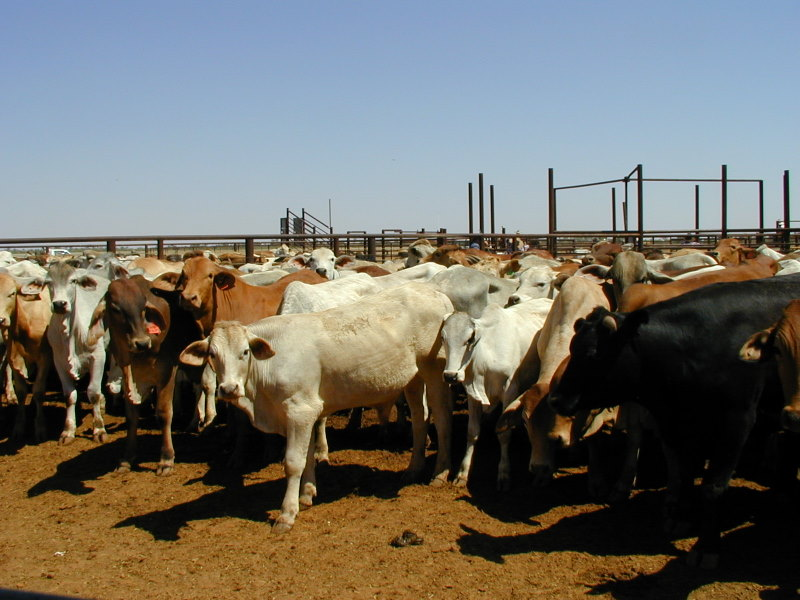 Queensland cattle