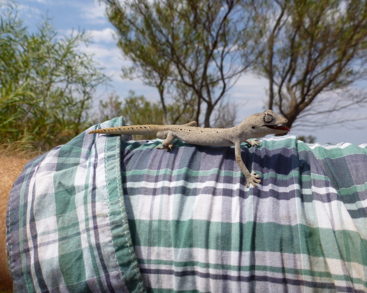 spiny-tailed-gecko-strophurus-ciliaris