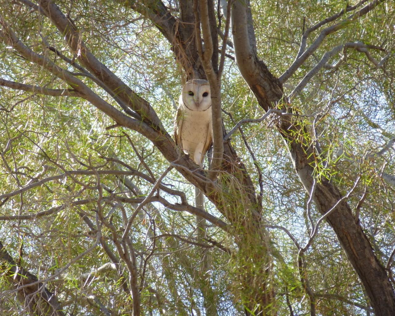 tyto-alba-barn-owl